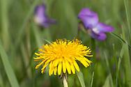 Dandelion and Dog Violet flowers
