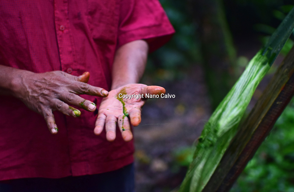 Catato López, Bribri man extracts liquid from a plant for different purposes. A day with the Bribri, indigenous people in Limón Province of Costa Rica