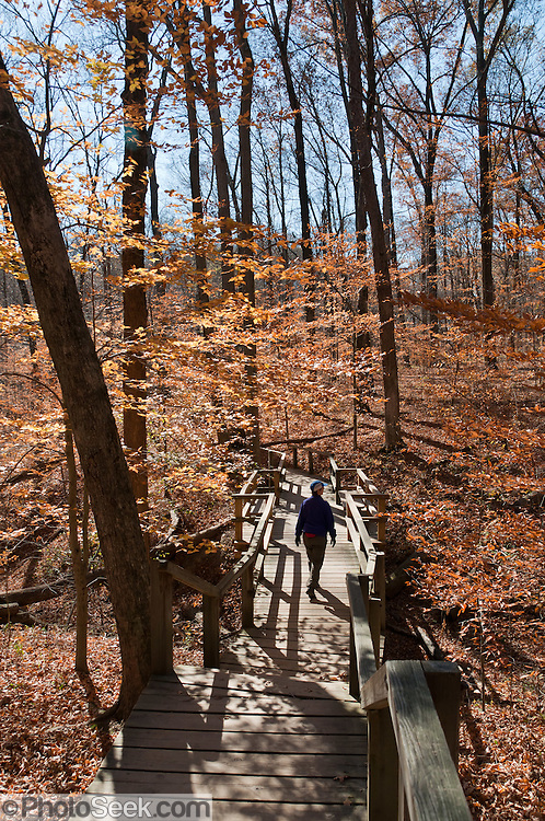 Boardwalks protect popular Turkey Run State Park from the feet of hikers in historic Parke County, Indiana, USA. Brown leaves of late fall cling to trees. Rocky Hollow Falls Canyon Nature Preserve is a National Park Service Registered Natural Landmark.