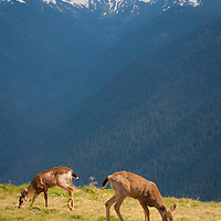 Deer grazing - Olympic Mountains - Olympic National Park, WA