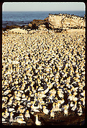 06: NATURE CAPE GANNET COLONY