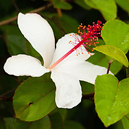 The only fragrant Hibiscus in the World are endemic to Hawaii, this one is Hibiscus arnottianus subsp. arnottianus.