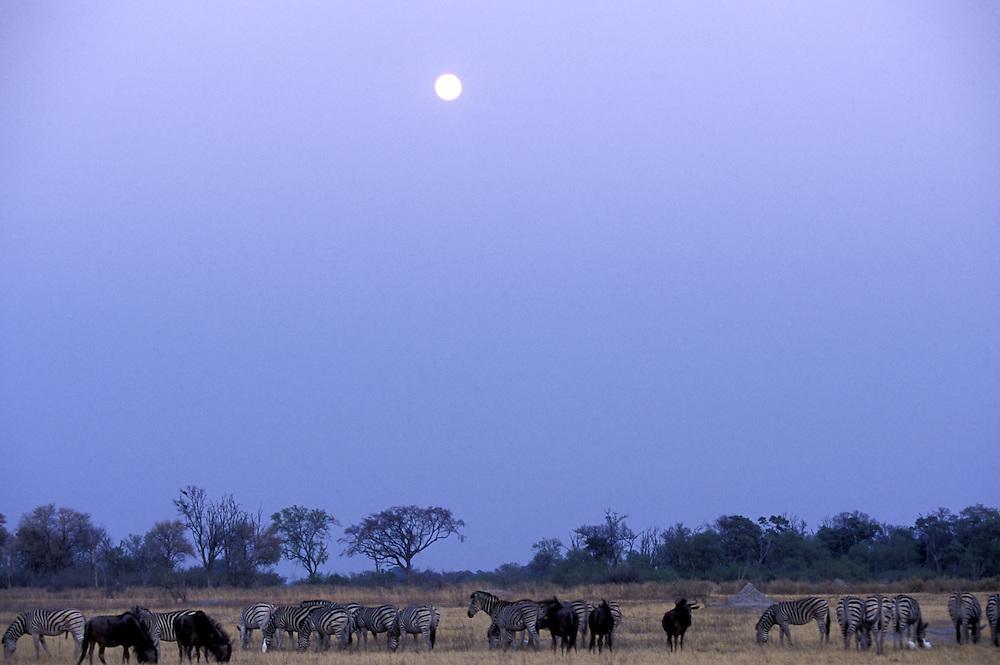 Botswana, Moremi Game Reserve, Setting full moon over  Plains Zebra and Wildebeest herds along Khwai River