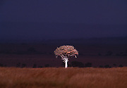 Image of a lone tree on a savannah, storm clouds in distance, Masai Mara Reserve, Kenya, Africa