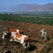 Valley of Moche River in arid Andes foothills; irrigated agriculture in valley; peasant plowing field with oxen-driven plow.