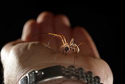 Weibliche Goldene Radnetzspinne (Nephila clavipes)