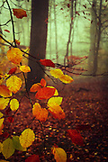 Colorful leaves hanging down from a beech tree - texturized photograph