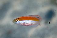 Suezicthys aylingi (female) Crimson cleanerfish