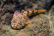 Banded Sculpin<br />