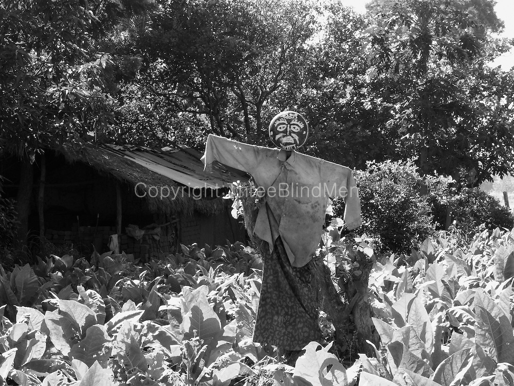 Scarecrow in a tobacco field.