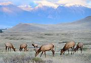 A bull elk (Cervus elaphus canadensis) watches over his harem, Western North America