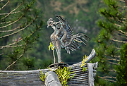 """One statue from a pair of """"Chinese phoenix,"""" called Hou-ou (or Hoo-oo) in Japanese, raises its wings on the rooftop of the Amida Hall (Amida-do), also known as the Phoenix Hall (Hoo-do) at the 1968 Byodo-In Temple, in Valley of Temples Memorial Park, island of Oahu, Hawaii, USA. The legend of the Chinese phoenix, a male and female pairing called Fenghuang, arose 7000+ years ago (whereas the later Greek myth of the Western world's phoenix derived independently from ancient Egypt and Arabia). Peaceful Byodo-In Temple is in Valley of the Temples Memorial Park, at 47-200 Kahekili Highway in Kaneohe, Oahu. Byodo-In Temple (""""Temple of Equality"""") was built in 1968 to commemorate the 100 year anniversary of the first Japanese immigrants to Hawaii. This Hawaii State Landmark is a non-practicing Buddhist temple which welcomes people of all faiths. The Byodo-In Temple in O'ahu is a half-scale replica of the Byodo-in Temple built in 1053 in Uji, Japan (a UNESCO World Heritage Site)."""