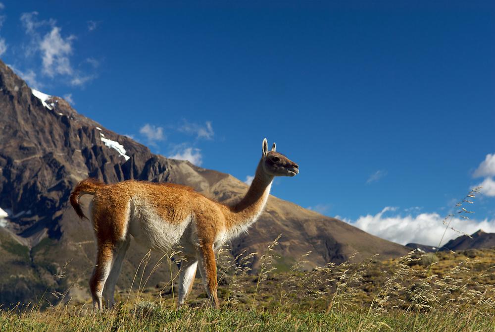 Guanaco, Patagonian Argentina
