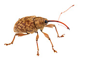 Nut and Acorn Weevils (Curculio sp.)<br /> United States: Alabama: Tuscaloosa Co.<br /> Tulip Tree Springs off Echola Rd.; Elrod<br /> 3-Sep-2016<br /> J.C. Abbott #2863
