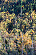 "Fall foliage color, mostly Bigleaf Maple (Acer Macrophyllum), on the slopes of Sasquatch Peak in Sasquatch Provincial Park, British Columbia, Canada.  Photographed from ""The Point"" at Deer Lake."
