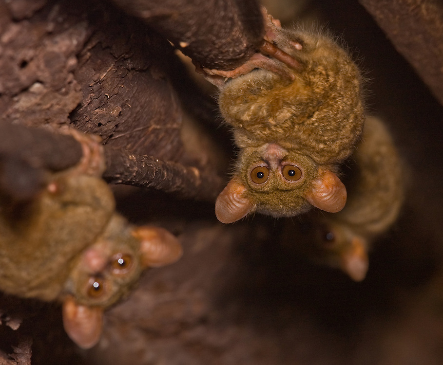 Spectral tarsiers - Tarsius tarsier - in a tree hole in north Sulawesi