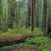 Redwood Grove - Hwy 199 - Redwood National Forest - Northern CA