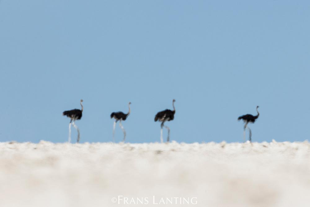 Ostriches on salt pan, Struthio camelus, Etosha National Park, Namibia