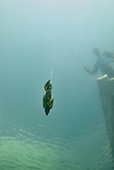 Outkast ATK jig<br /> <br /> Engbretson Underwater Photography
