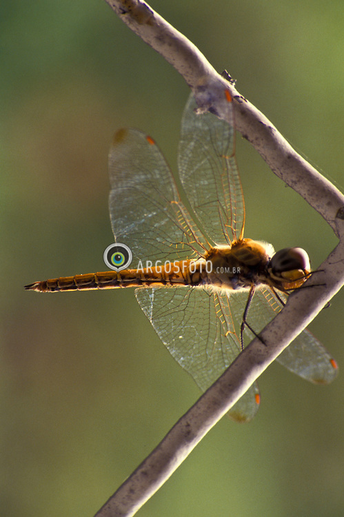 """A libelinha, ou libeula, eh um insecto alado pertencente a sub-ordem Anisoptera. Este grupo tem distribuicao mundial e tem preferencia por habitats nas imediacoes de corpos de agua estagnada/ A dragonfly is an insect belonging to the order Odonata, the suborder Epiprocta or, in the strict sense, the infraorder Anisoptera. Dragonflies are usually found around lakes, ponds, streams and wetlands because their larvae, known as """"nymphs"""", are aquatic."""