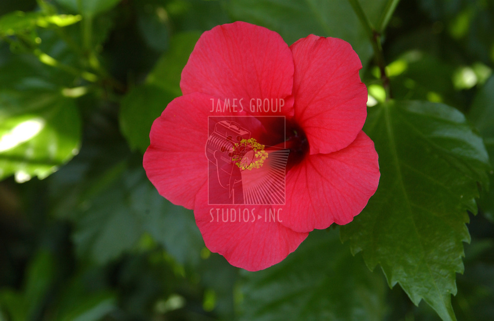 A hibiscus flower under the shade