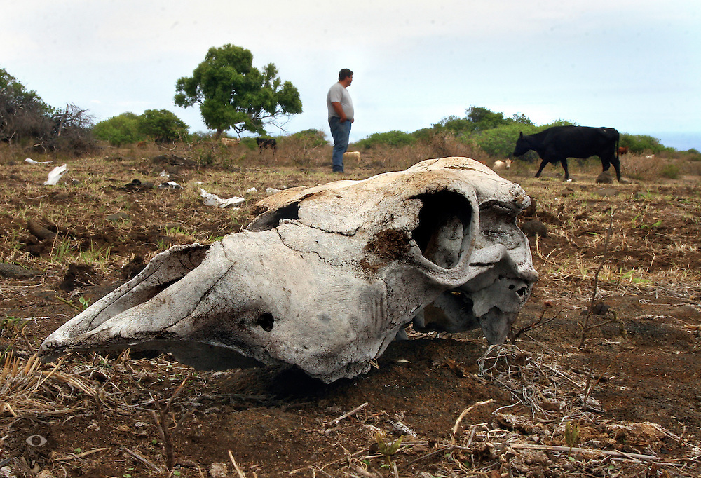 An old cow skull lays bleaching in the hot sun as cattle rancher Guy Galimba monitors the current drought conditions effecting his family-owned Kuahiwi Ranch in the town of Naalehu on the southern part of the Big Island, Hawaii. They have had only one day of significant rain in the past two weeks and green grass has now been replaced by dead grass and parched earth.