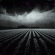 Endless fields of tulips - manipulated monochrome photograph