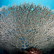 Large, unspoiled staghorn coral (Acropora sp.) viewed from the bottom-up, photographed at Craig's Ridge dive site in Moresby Strait, Milne Bay, Papua New Guinea