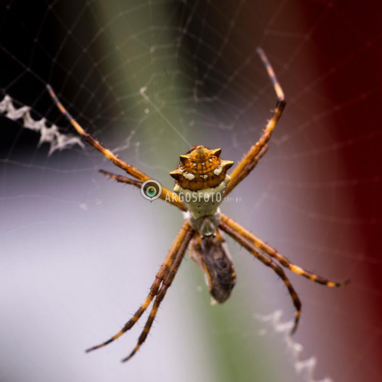 Goncalves, MG, Brazil. A Aranha-de-prata (Argiope argentata) eh uma aranha da familia dos araneideos, que apresenta coloracoes amarela, branca, preta e prateada. A especie vive em teias geometricas construidas geralmente entre folhas e galhos. Também e conhecida pelo nome de aranha-dos-jardins. A femea eh muito maior do que o macho. = Goncalves, MG, Brazil. Argiope argentata is a species of spider in the family Araneidae (orb-weavers), found from the United States south to Chile and Argentina. It is a member of the Argiope genus and is also known as the silver argiope.