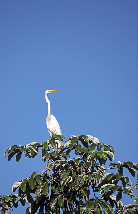 South America, Brazil, Pantanal. The Great Egret in the Pantanal.
