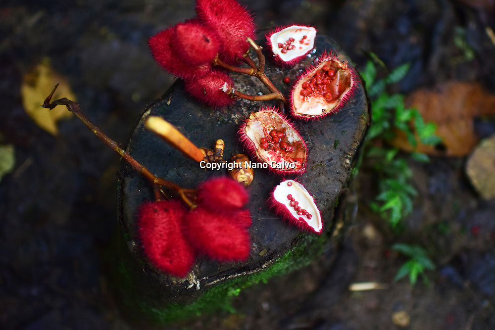 Achiote or Bixa orellana, used for different purposes. A day with the Bribri, indigenous people in Limón Province of Costa Rica.