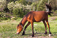 Brown horses on a green meadow