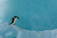 An Adelie Penguin (Pygoscelis adeliae) on an iceberg, Weddell Sea.