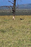 Cheetah (shade)