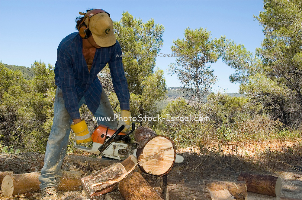 Israel, Galilee, Biria forest, Foresters working in a pine forest cutting the trees as fire wood