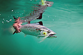 Spanish Mackerel Photos