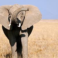 Africa, Kenya, Amboseli. Gesturing Elephant at Amboseli.