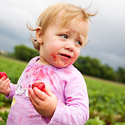 Evelyn Kroll, 14 months, of River Falls, WI, helps her family by picking and eating berries at Afton Apples' pick-your-own strawberry patch in Hastings, MN.