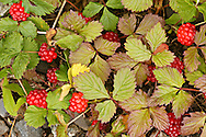 A bunch of Nagoonberries just at their ripeness at the North Fork of Eagle River in the Chugach State Park of Southcentral Alaska.  Summer.  Afternoon.