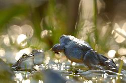 Moor Frog (Rana arvalis), male | Moorfrosch (Rana arvalis)
