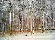 Aspens with early winter snow. Boulder Mountains, near Sun Valley Idaho.<br /> Also available as a triptych, up to 82 x 114.