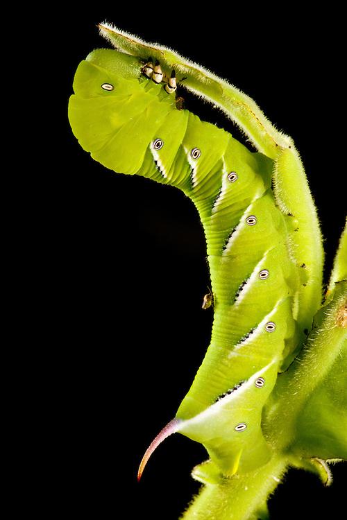 Sphinx moth caterpillar, Haiti