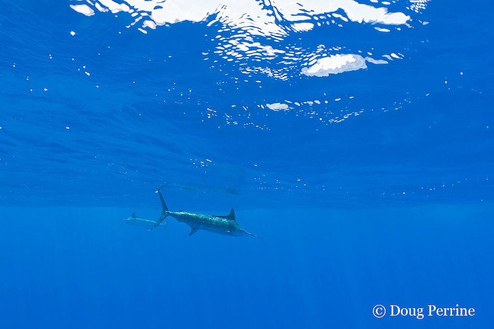 two blue marlin, Makaira nigricans, hunting together, Vava'u, Kingdom of Tonga, South Pacific
