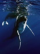 Tonga, Whales, Vava'u and Tonga Tapu