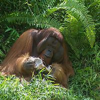 Flanged male Bornean orangutan eating a coconut