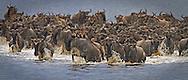 Wildebeest (Connochaetes taurinus) crossing Lake Ndutu in the Serengeti.<br /> Swahili Name: Nyumbu Ya Montu