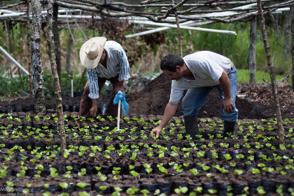 Coffee producer Joaquin Tercero (left), 68, and his son Henry Tercero, 43, both COCASAM members since 1994, weed out coffee seedlings. COCASAM, San Marcos de Colón, Choluteca, Honduras. July 30, 2013.