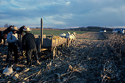 Team of two draft horses prepared to haul wagon load of fresh harvested yellow feed corn. Two amish men secure sides.