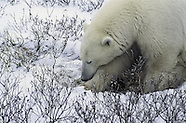 Polar bears threatened by climate change