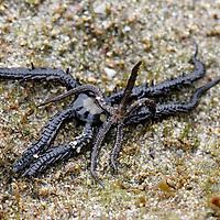 Central America, Costa Rica, Manual Antonio. Sea Stars  in the tidepools at Manual Antonio.